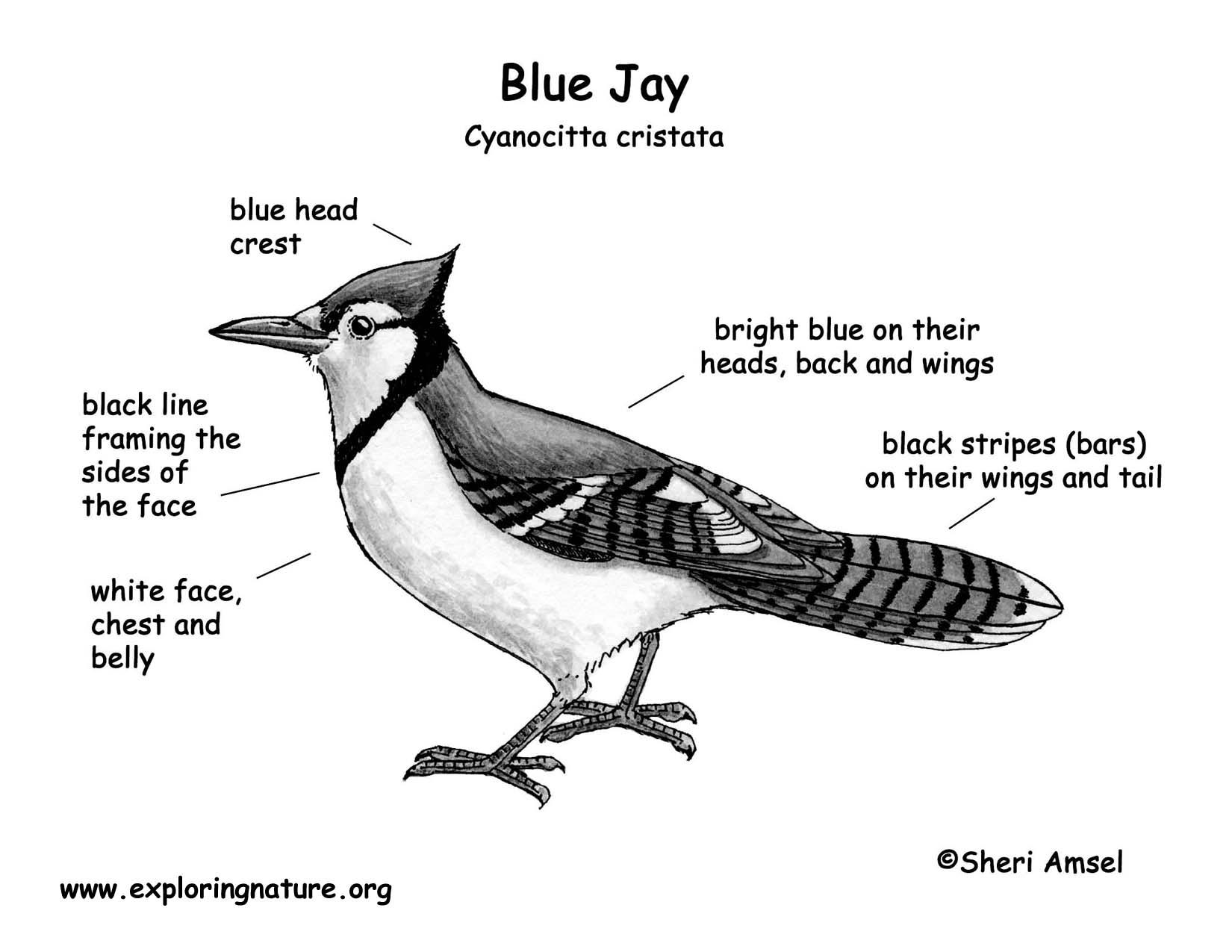 Jay  Blue