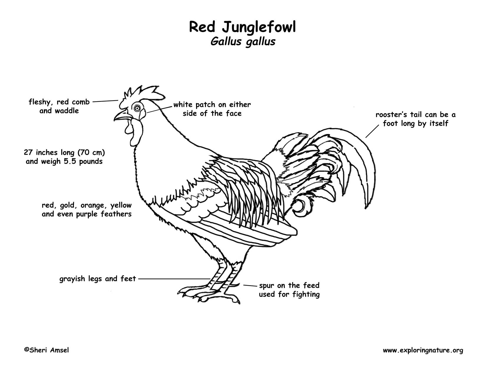 Diagram of a fowl male search for wiring diagrams red junglefowl rh exploringnature org domestic fowl jungle fowl ccuart Gallery