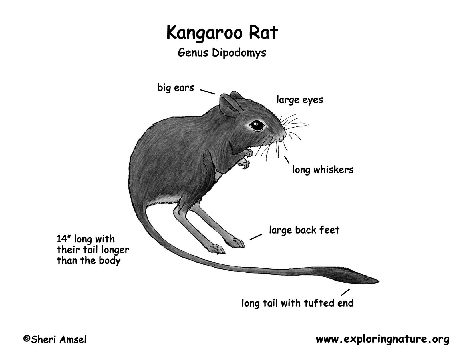 Well Label Diagram Of Rat - Search For Wiring Diagrams •
