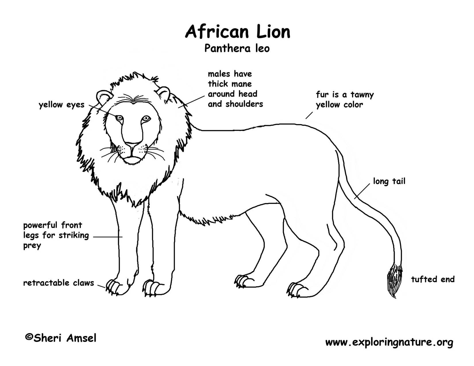 Lion Anatomy Diagram lion (african)