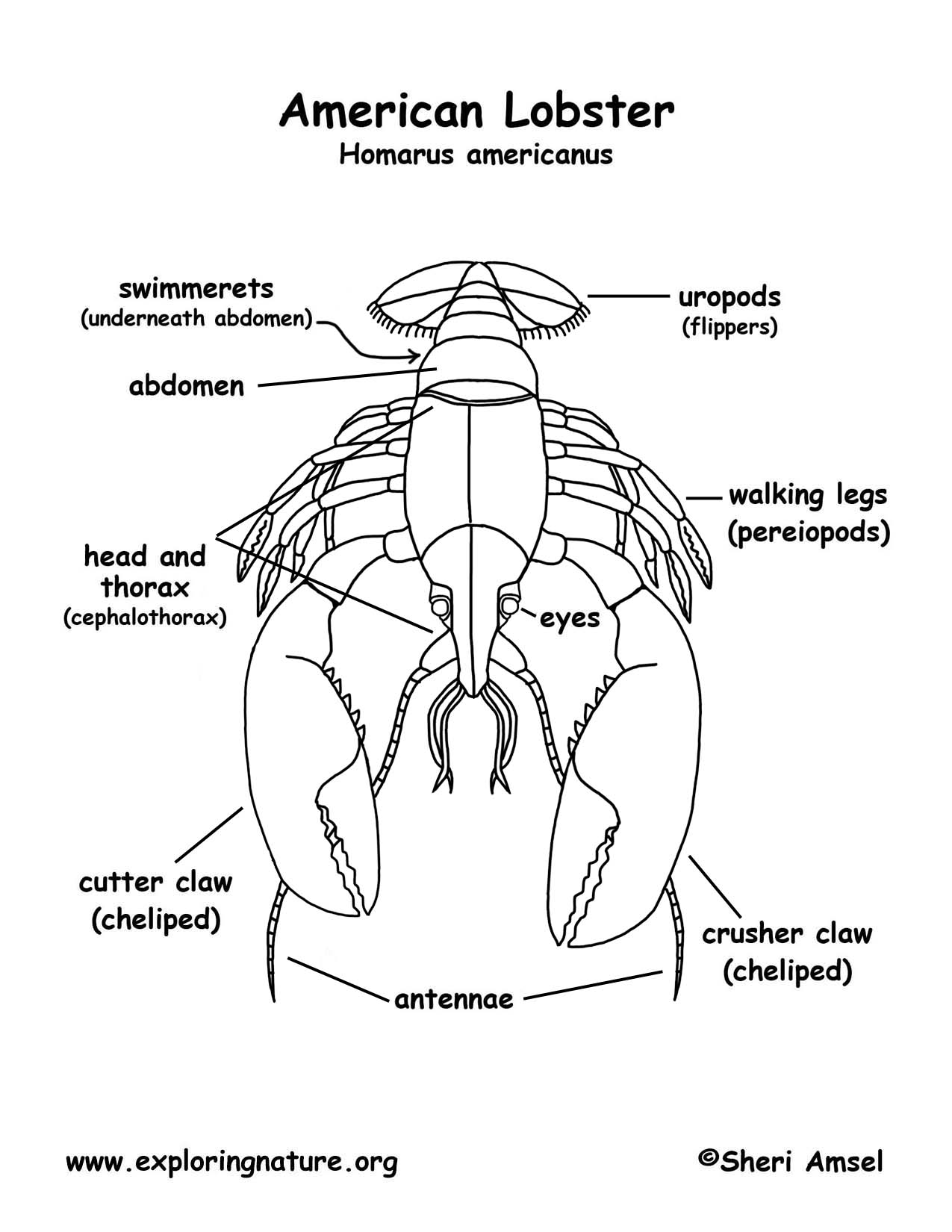 American Lobster Diagram - Find Wiring Diagram •
