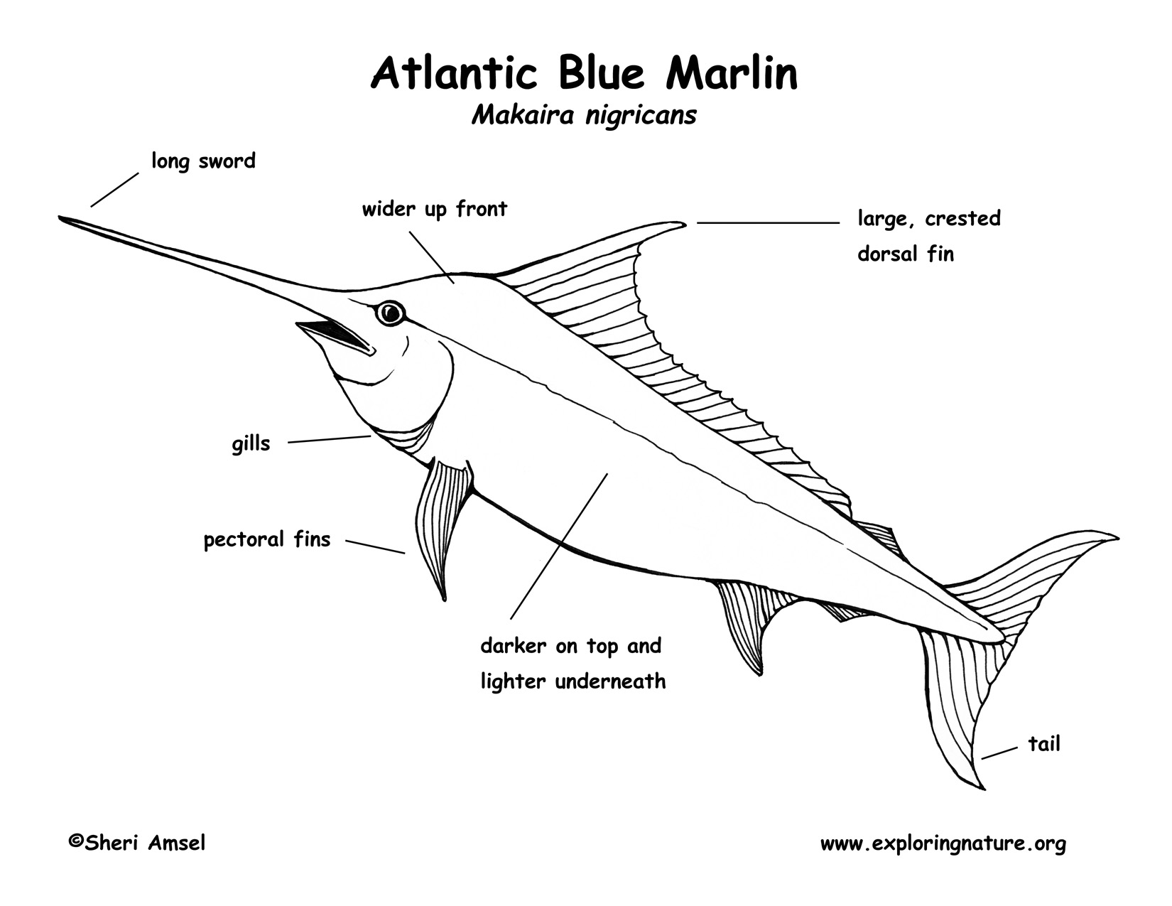 Marlin atlantic blue labeling page pooptronica