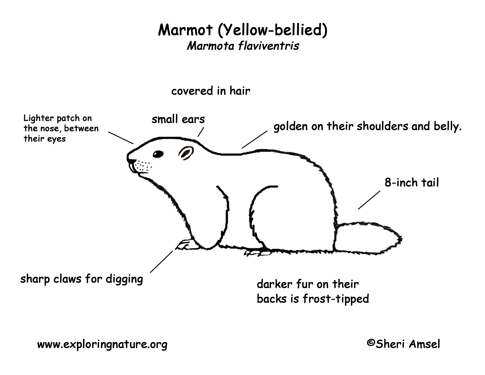 yellow bellied marmot coloring pages - photo#2