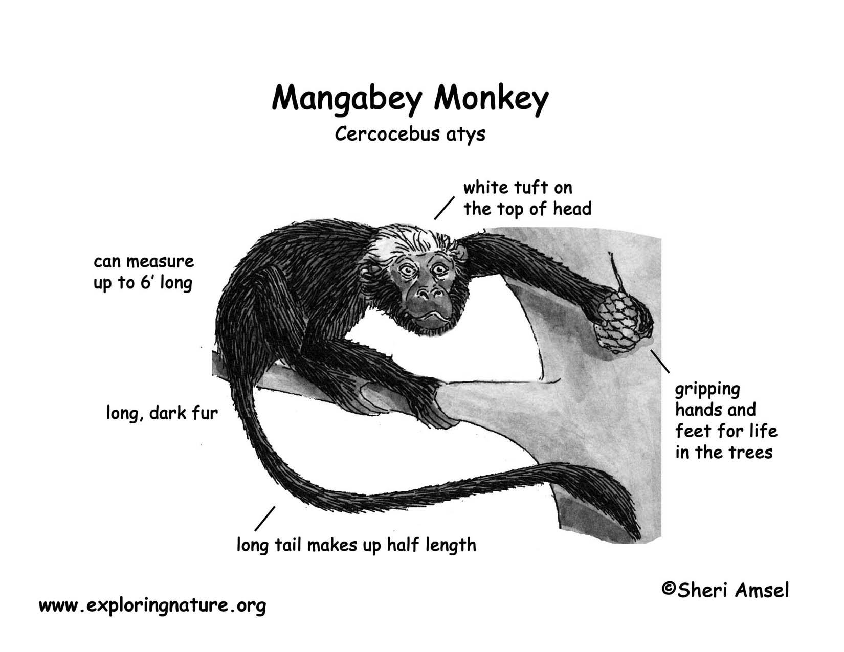 monkey mangabey rh exploringnature org diagram of a monkey wrench diagram of a squirrel monkey