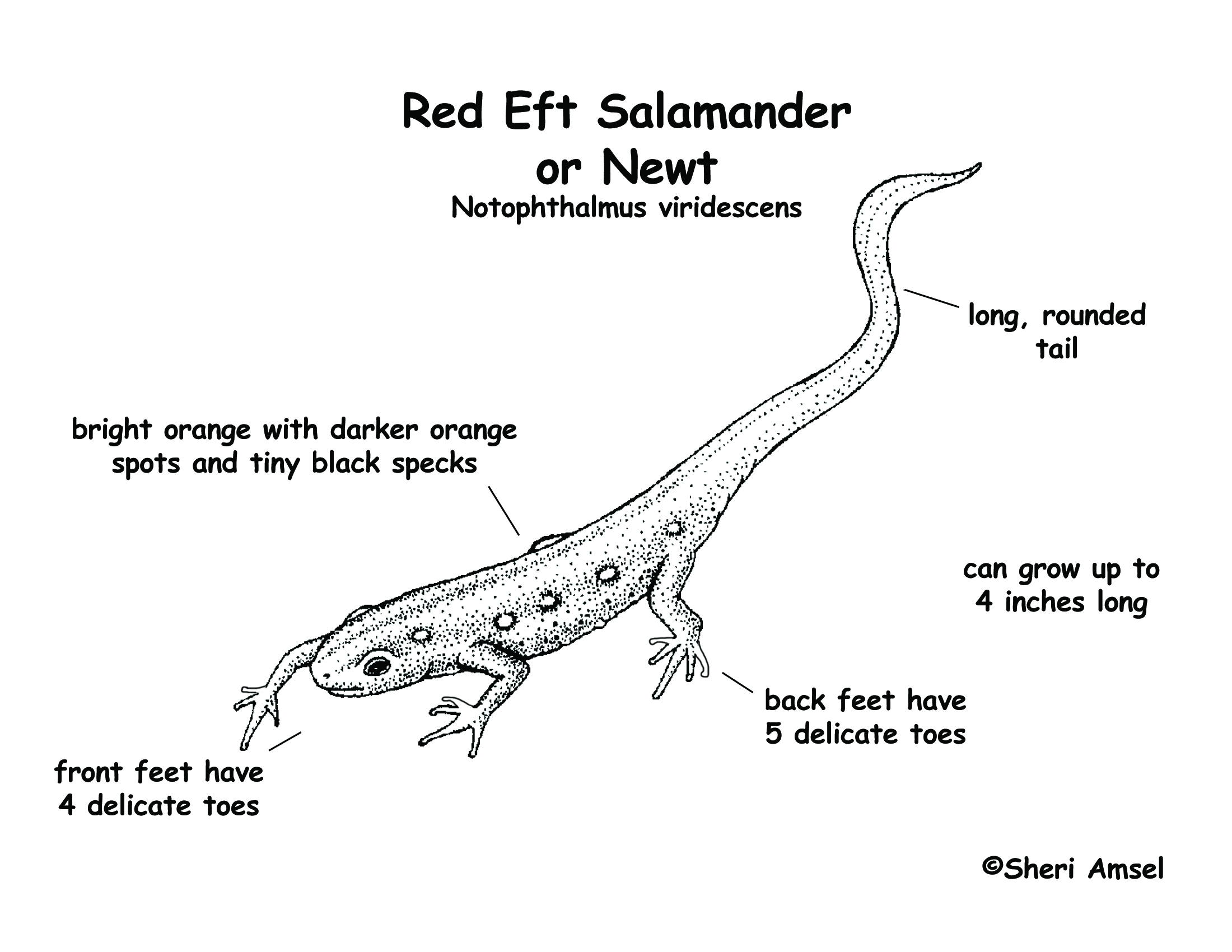 Salamander Red Eft Or Newt