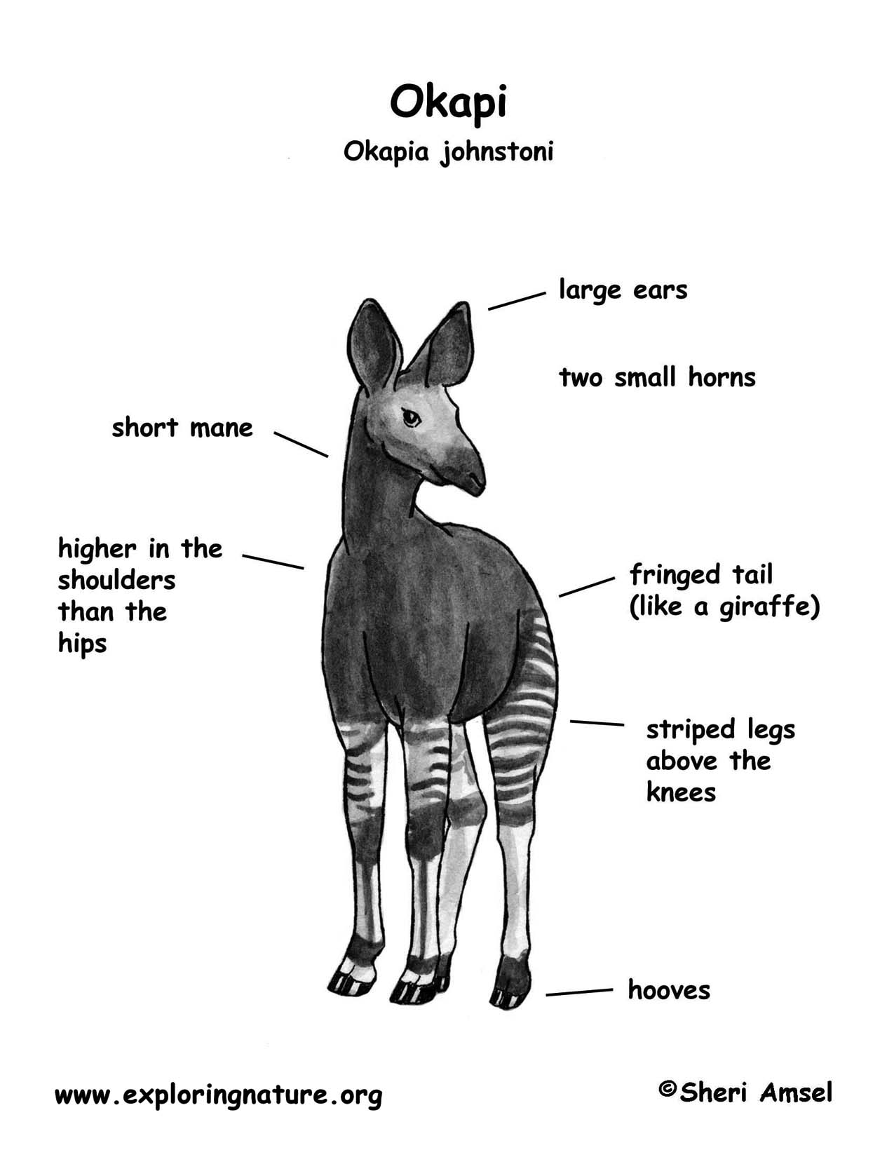 Okapi for Okapi coloring page