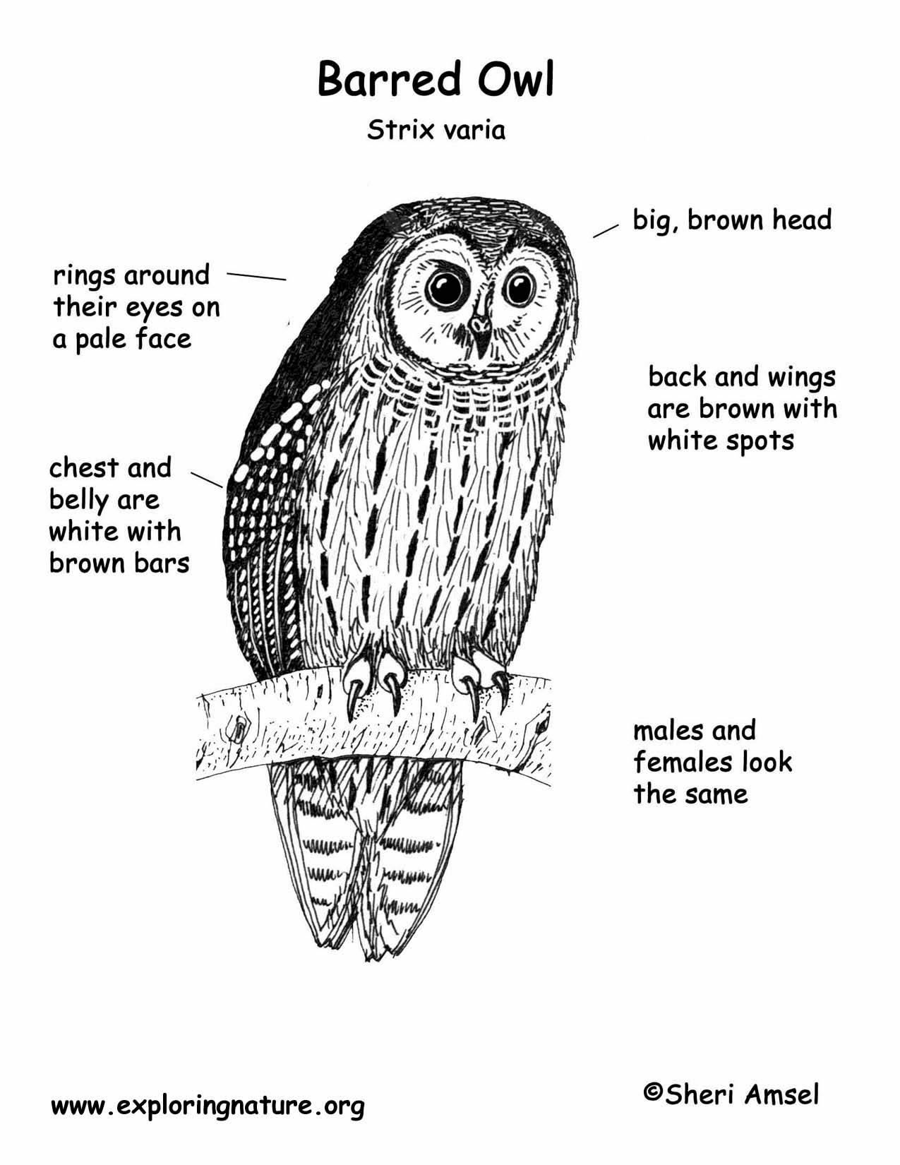 Download Hi Res Color Diagram Owl Barred