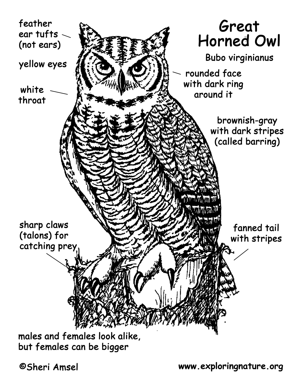 great horned owl coloring pages - photo#19