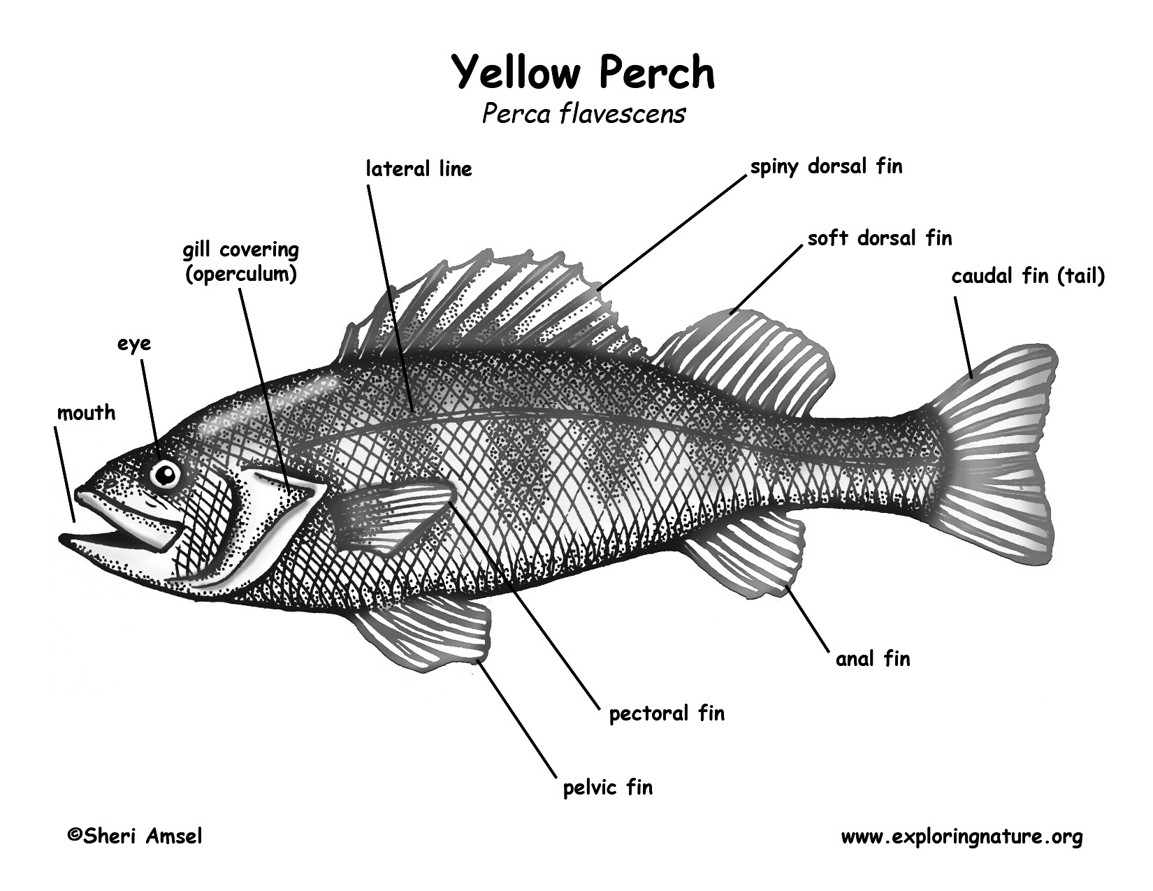 yellow perch diagram