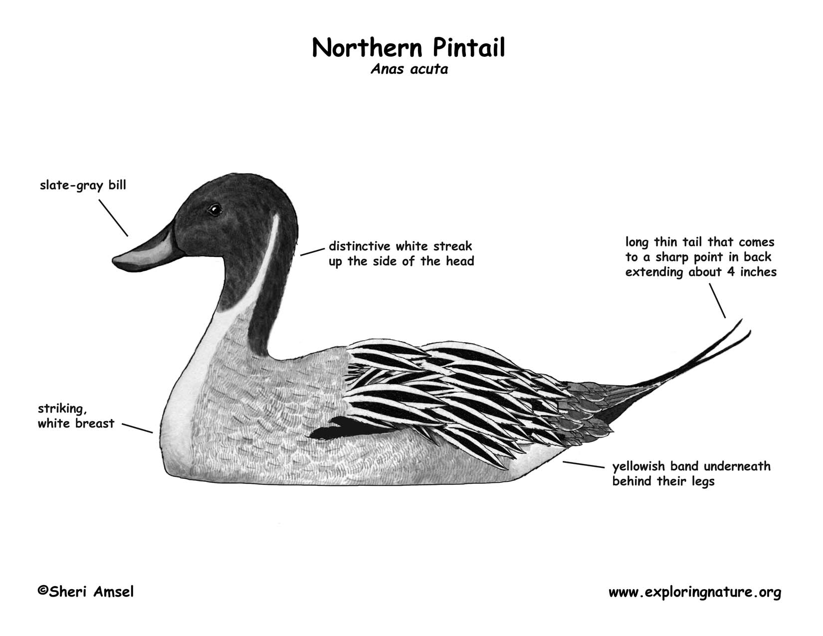 pintail_diagram_BW150 duck (northern pintail)