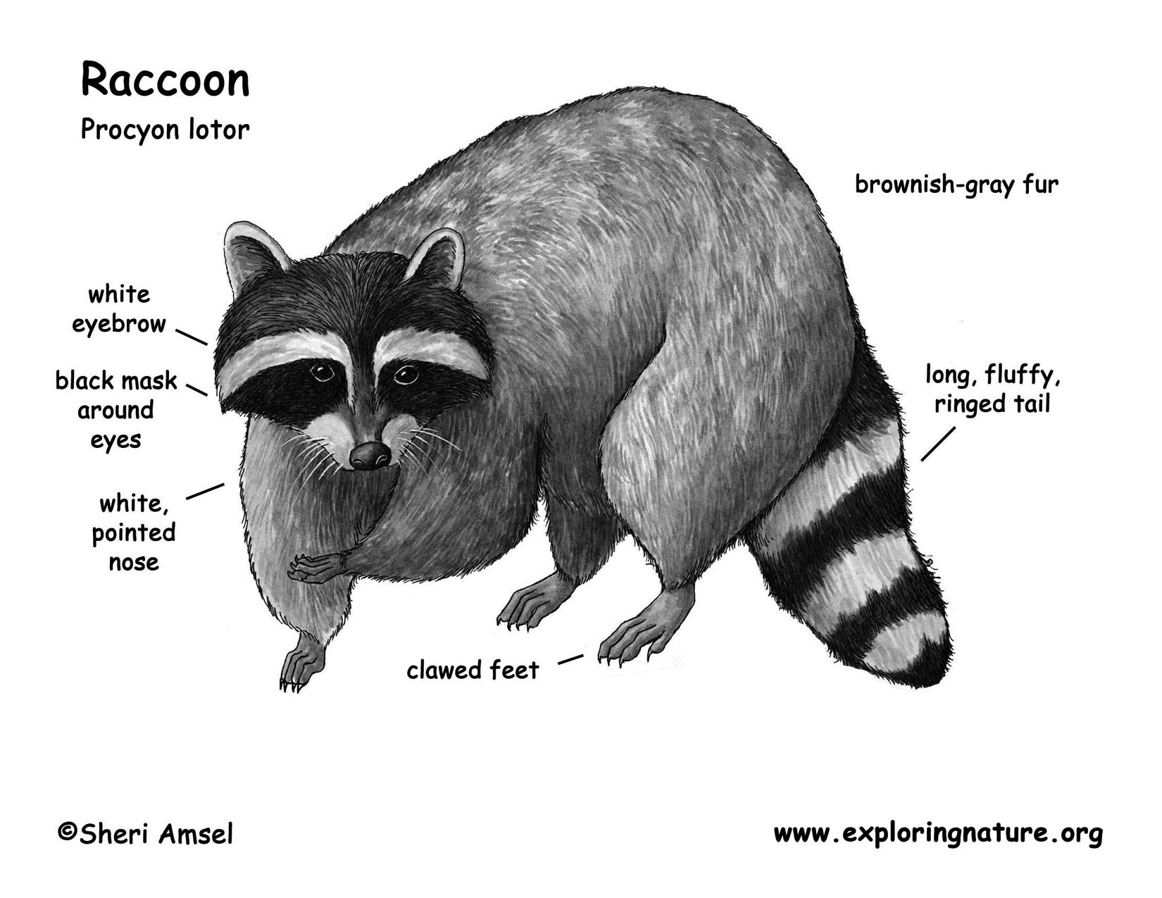 raccoon color diagram bw jpg