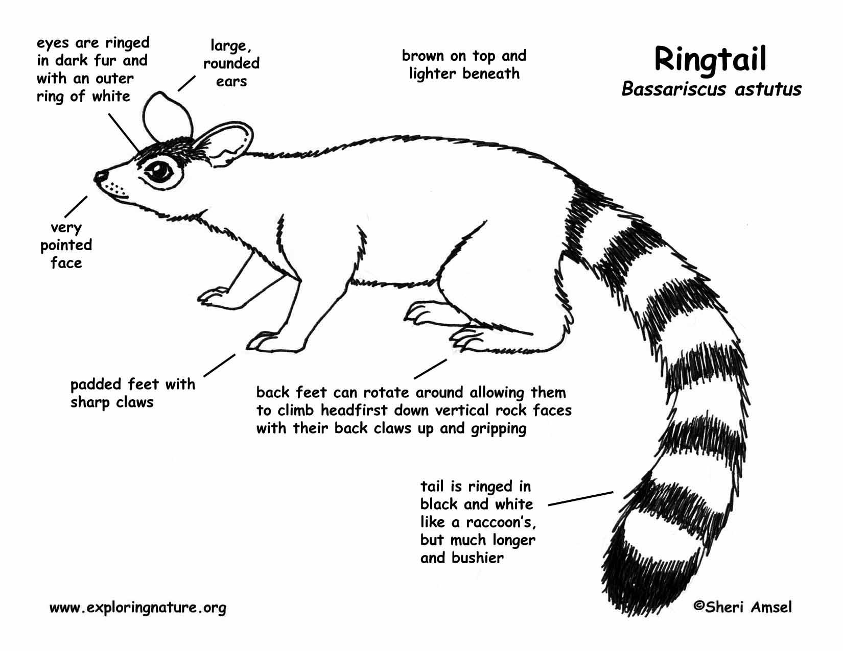 ringtail