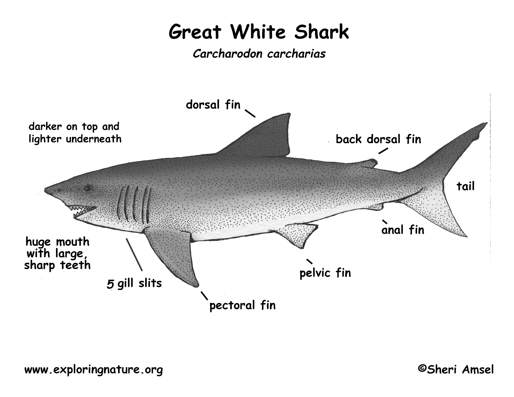 Shark great white download hi res bw diagram pooptronica