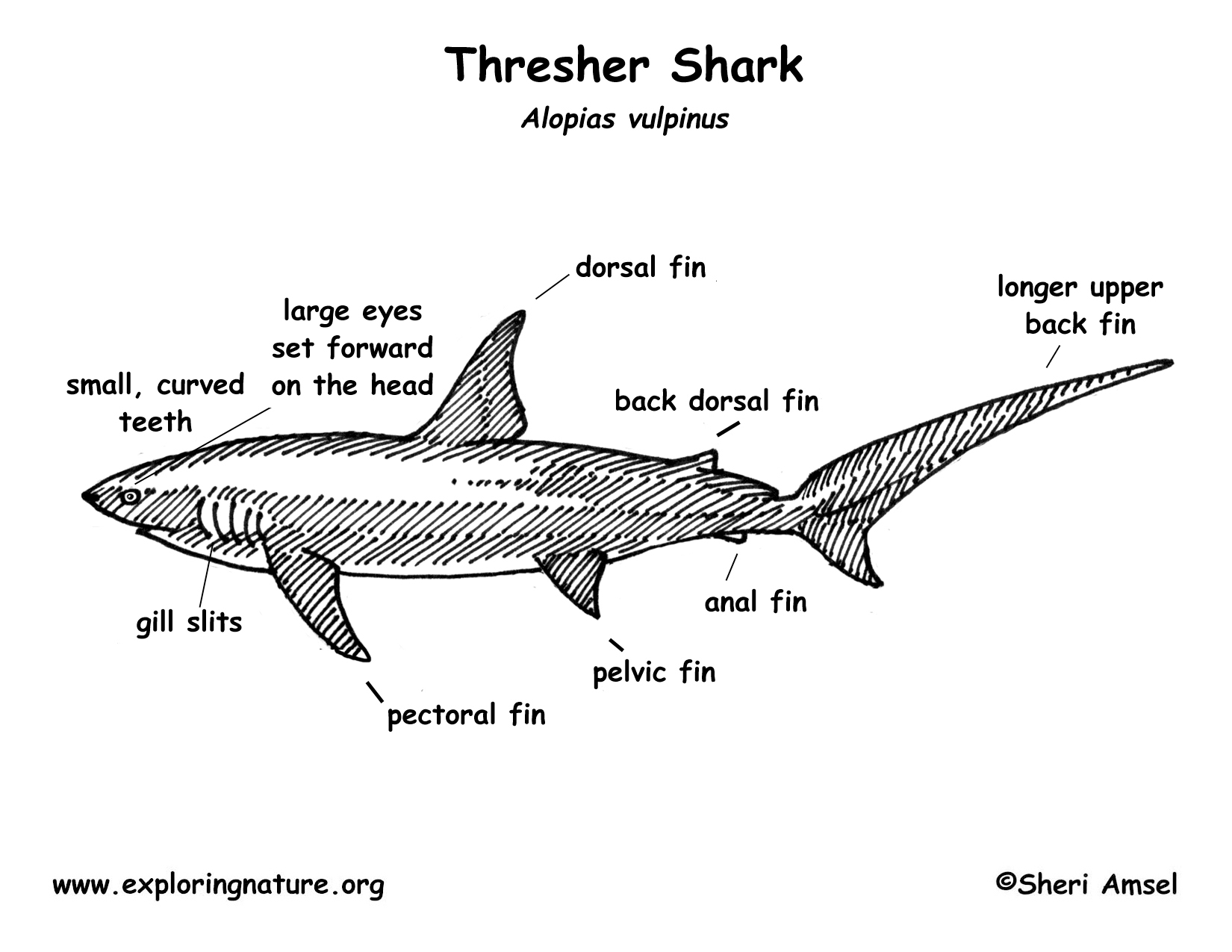 Labeled Diagram Of A Whale Shark Diagram