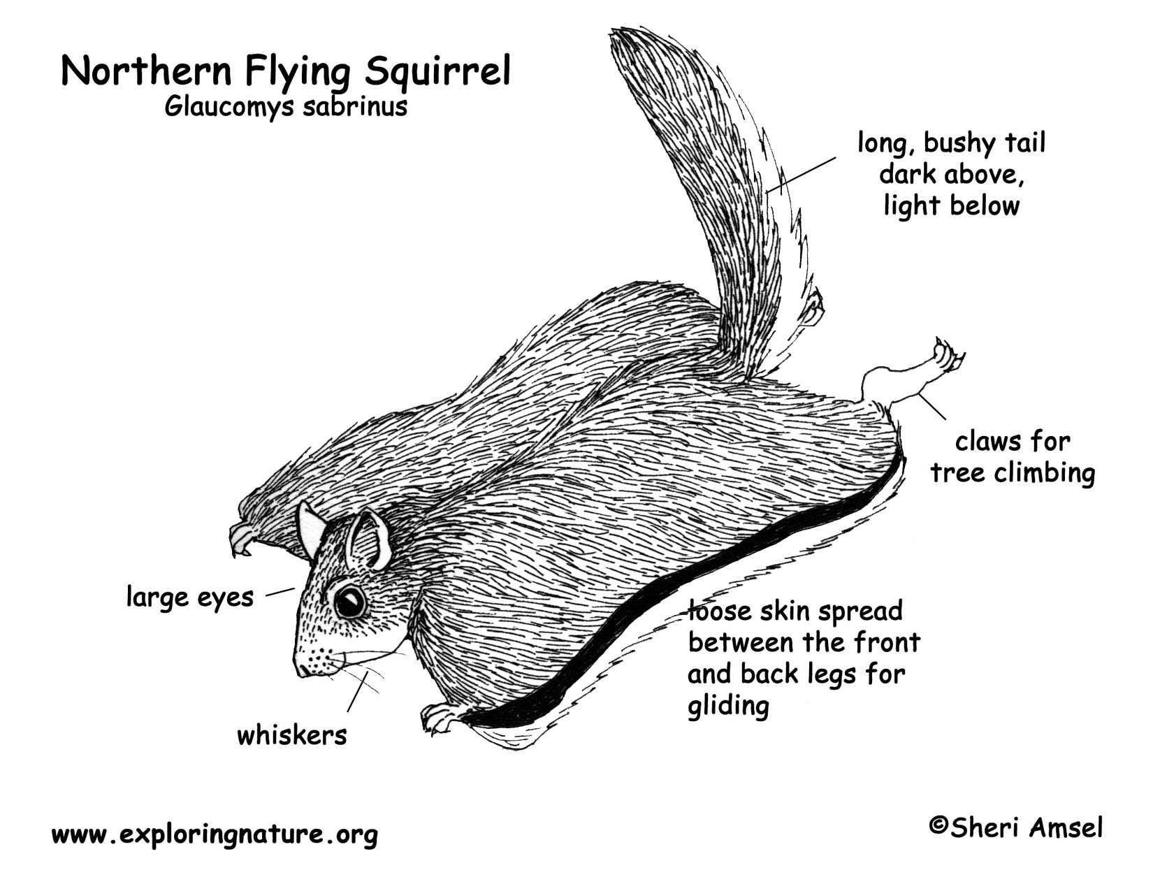 Squirrel northern flying for Flying squirrel coloring page