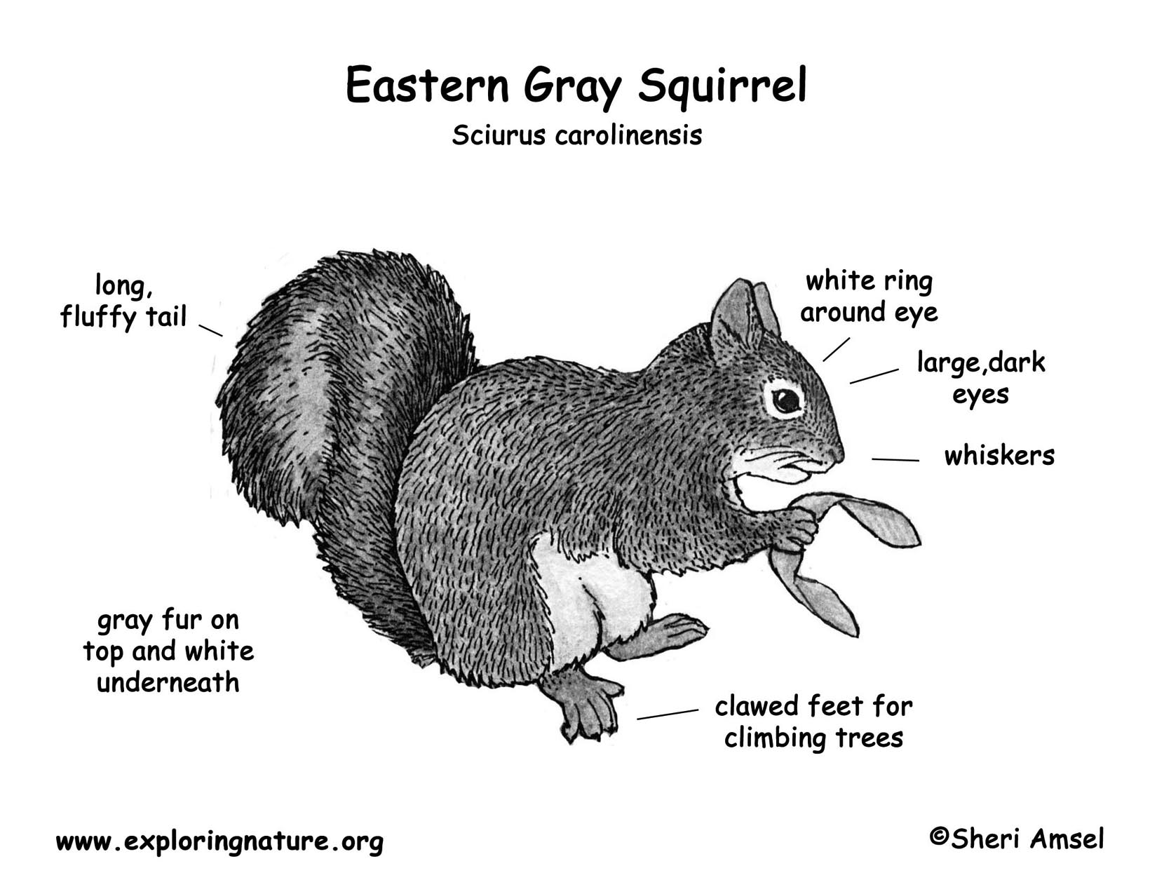squirrel eastern gray