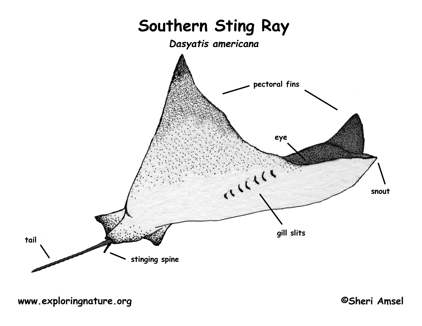 stingray (southern) Stingray Internal Diagram download hi res color diagram stingray