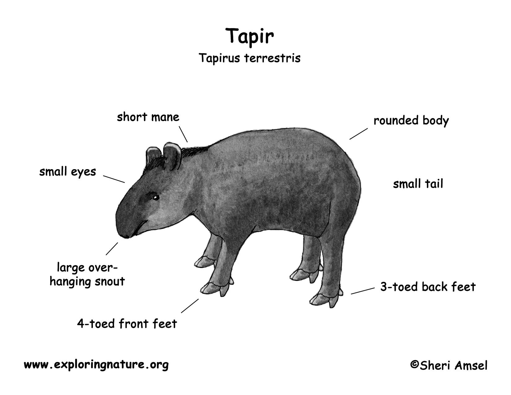 Tapir  Mountain  Baird U0026 39 S  Brazilian  Malayan