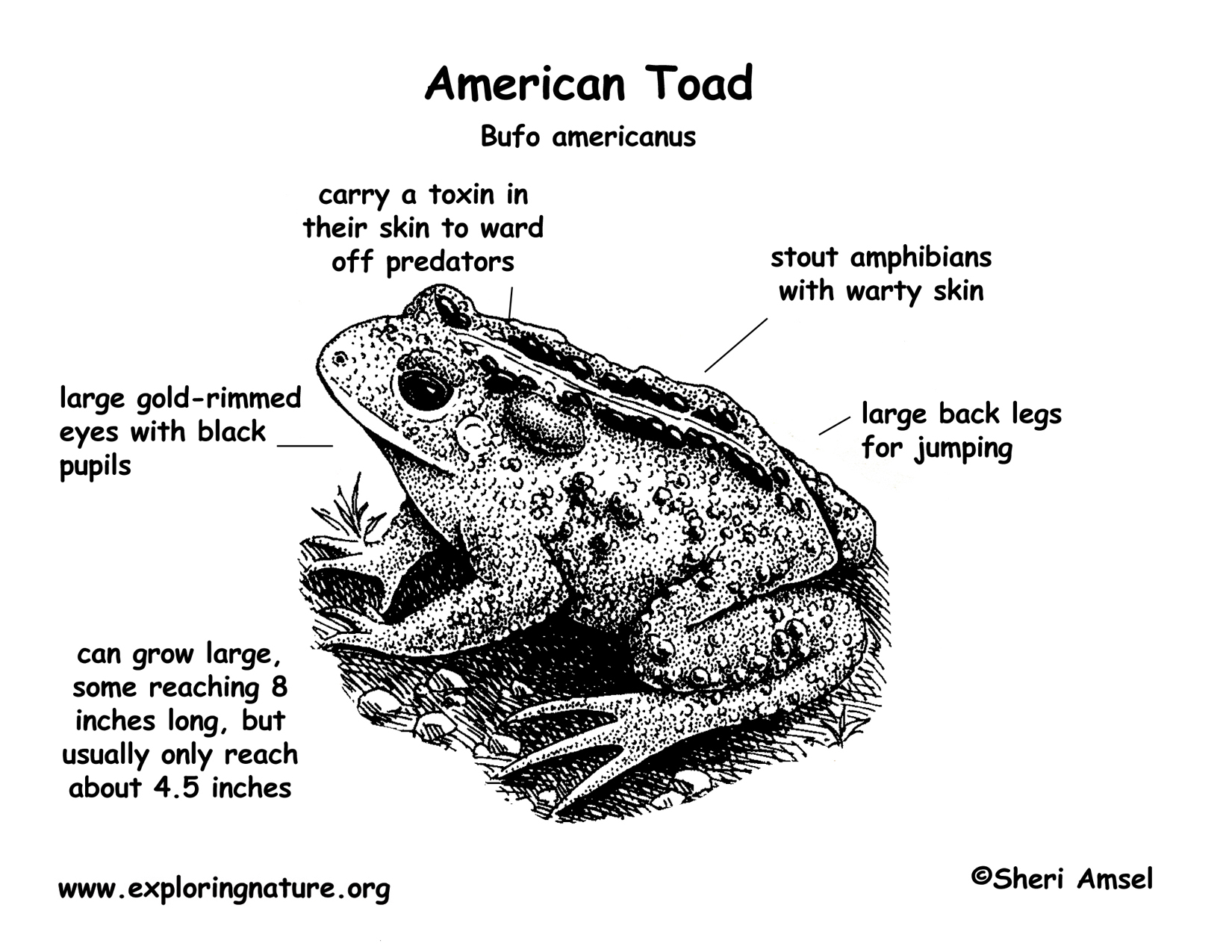 Diagram Of A Toad S Anatomy - Search For Wiring Diagrams •