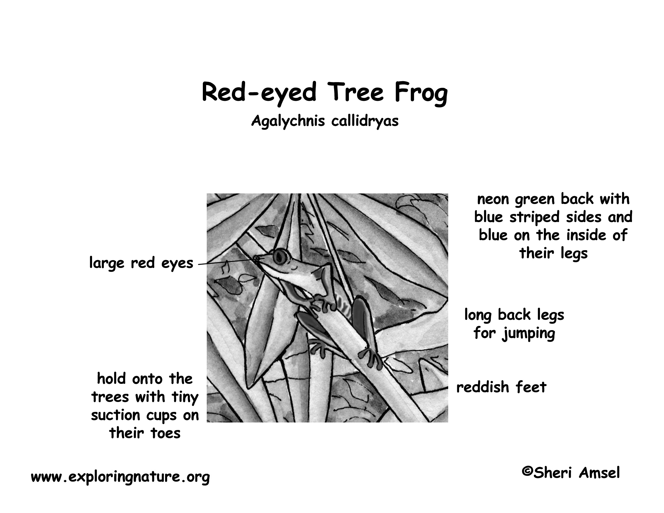 Free coloring pages red eyed tree frog - Coloring Page Labeling Page