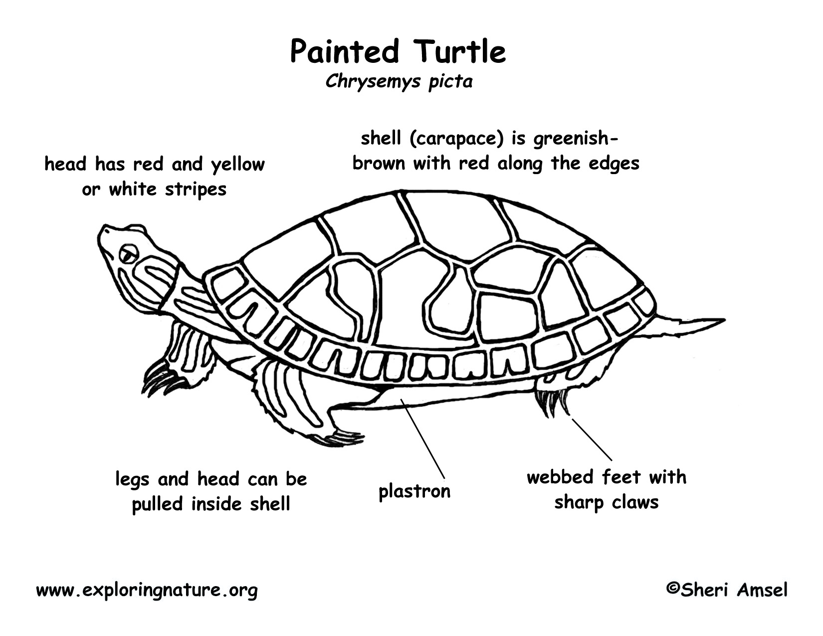 Box Turtle Body Parts Diagram - Electrical Drawing Wiring Diagram •