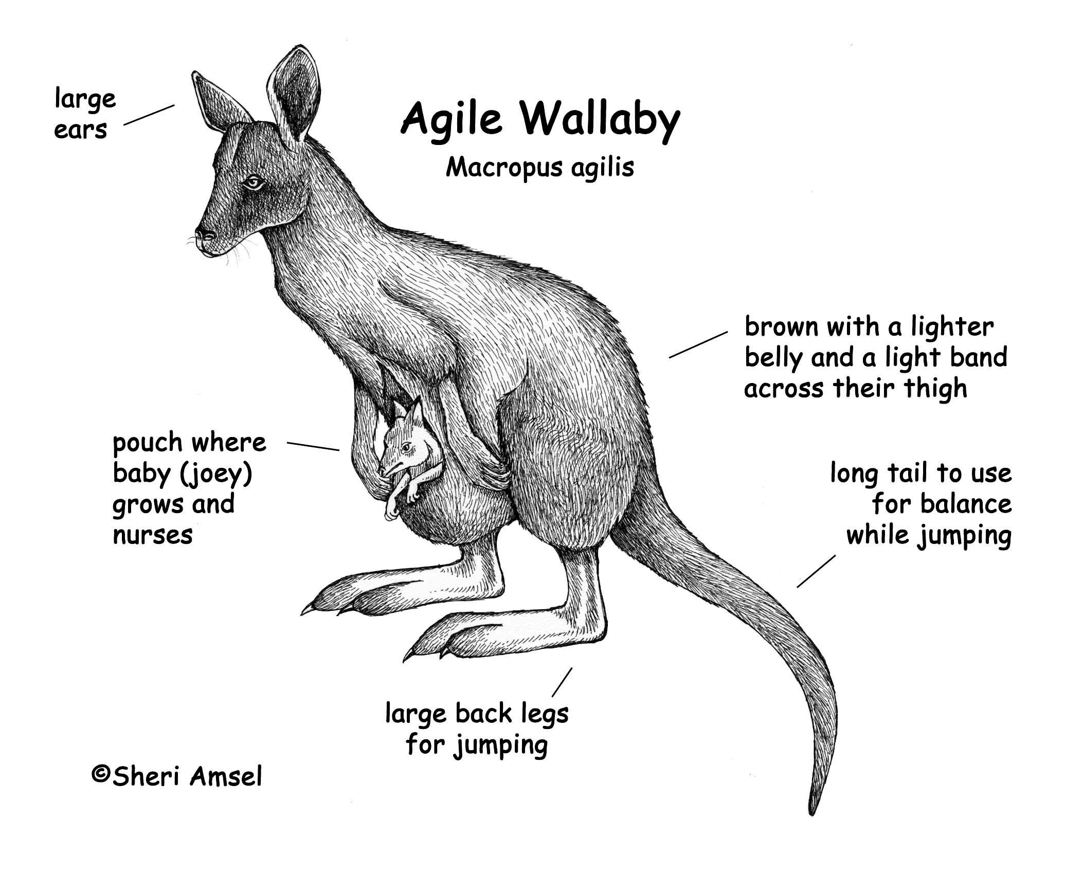 Amazing Female Kangaroo Anatomy Inspiration - Human Anatomy Images ...