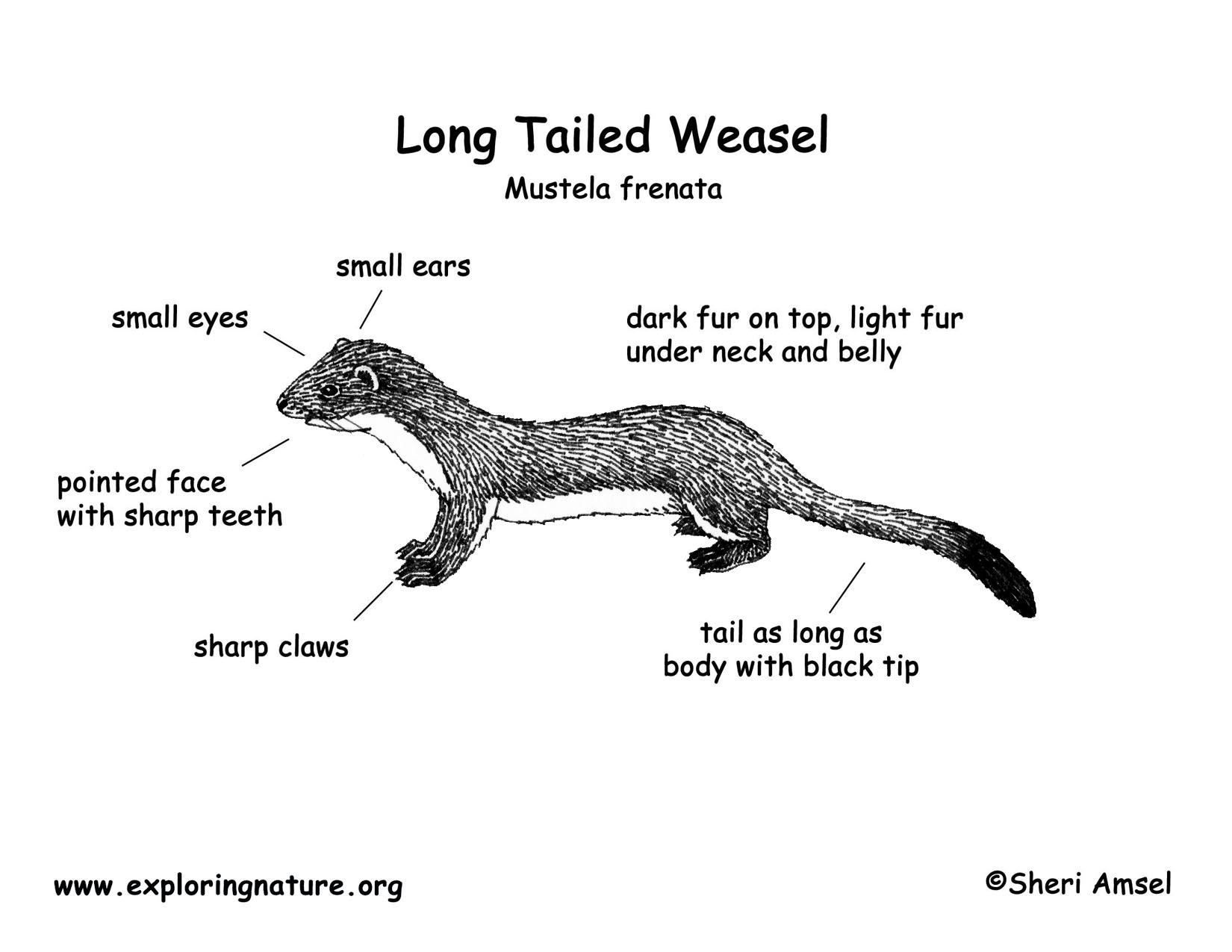 Weasel Longtailed