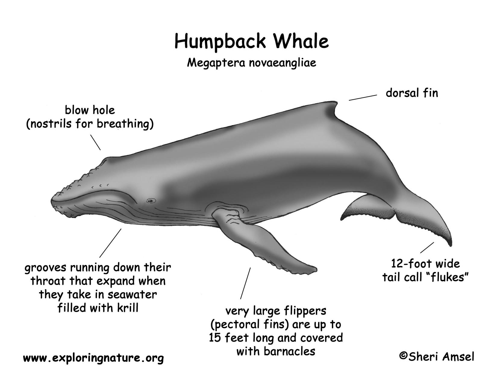 Blue Whale Body Parts Diagram Trusted Wiring Diagram