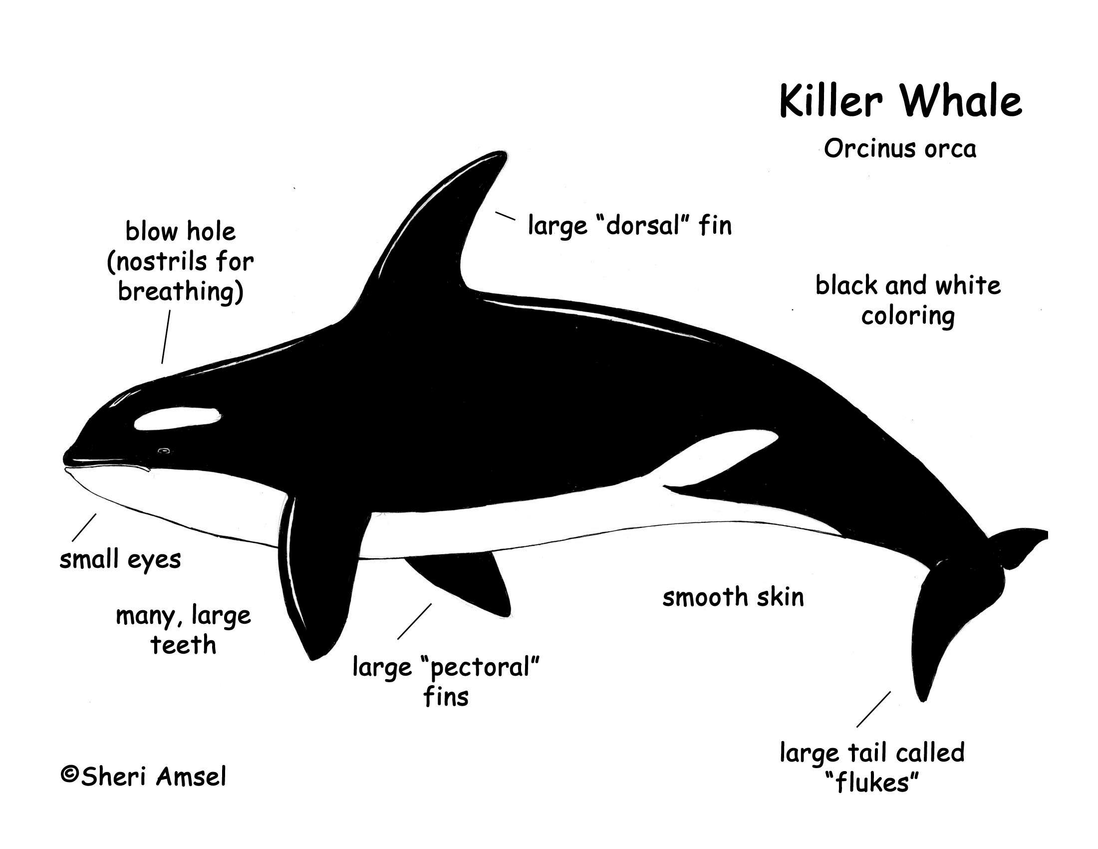 Right whale  Wikipedia