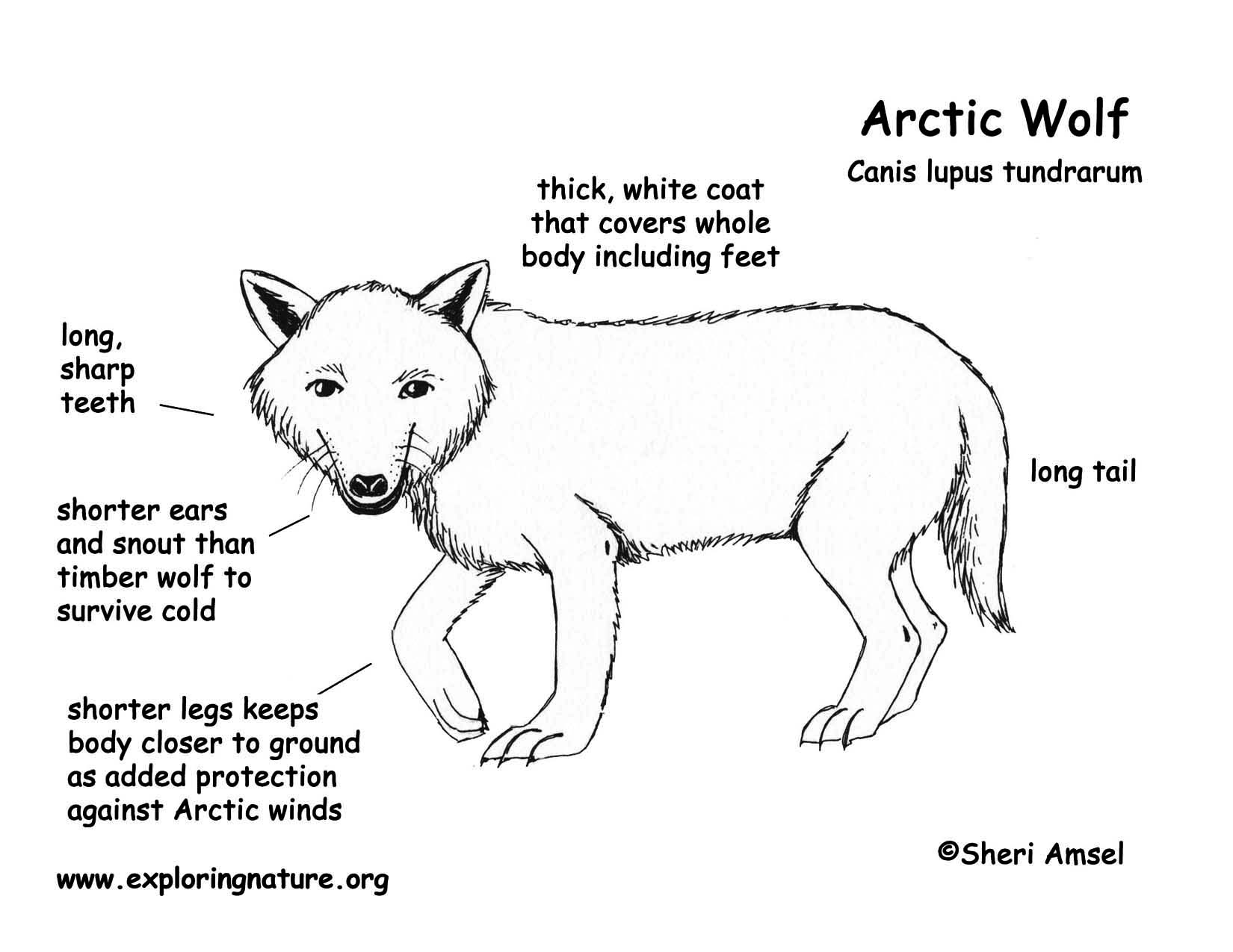 Diagram Of A Arctic Wolf House Wiring Diagram Symbols