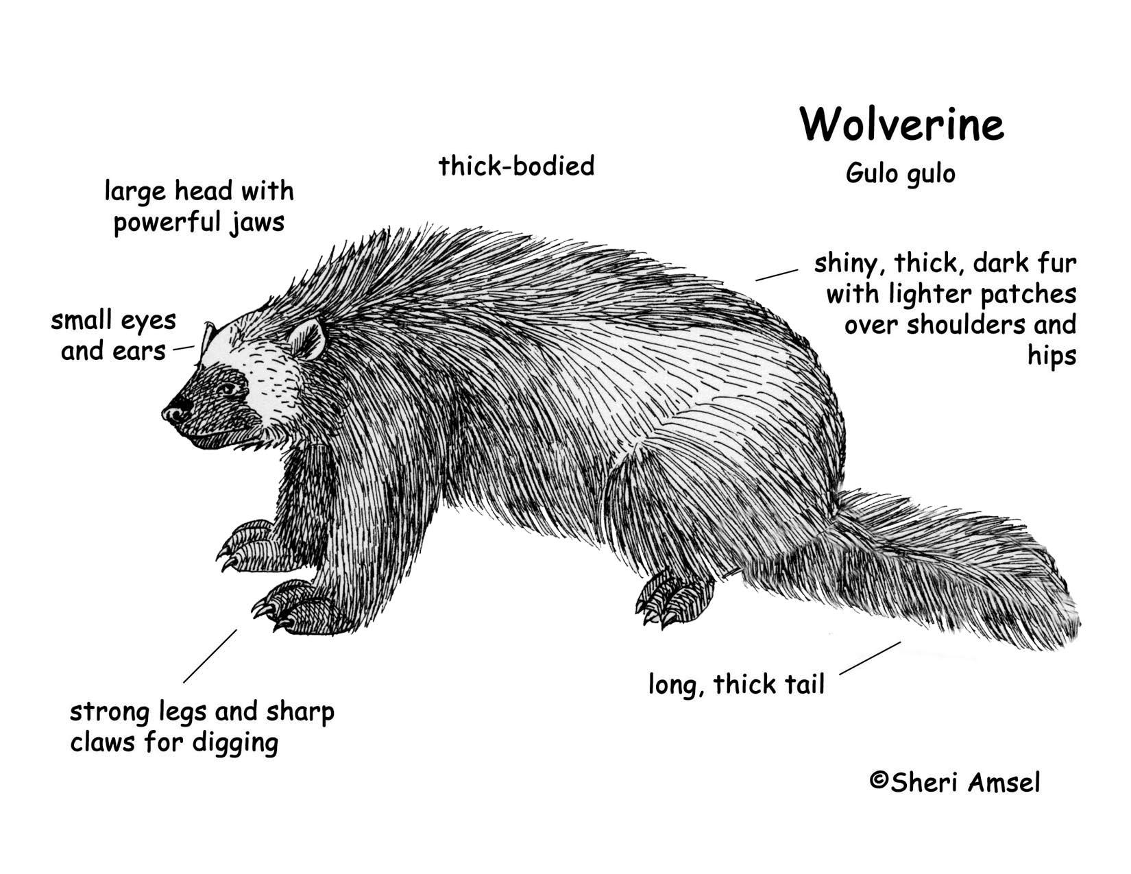 Download Hi Res Color Diagram Wolverine