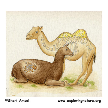 <p></p><p>Camels hold water in their humps.</p>