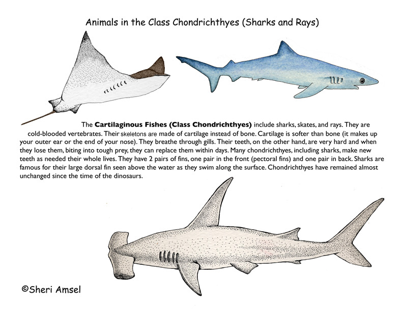 ABOUT SHARKS AND RAYS (Cartilaginous Fishes)