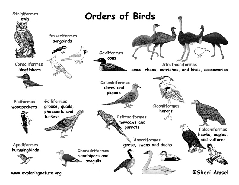 Class - Birds (AVES) - (4th Grade and up)
