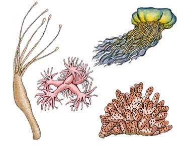 Phylum - Cnidaria (Jellyfish, Anemones, Corals, Hydras)