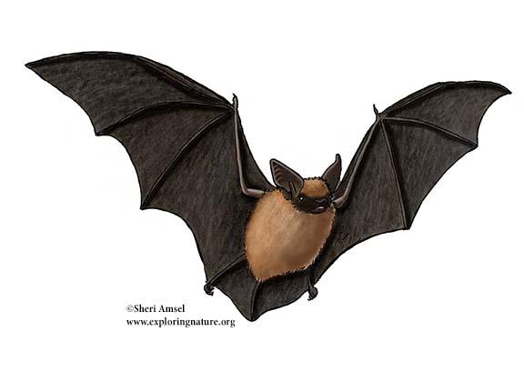 California myotis bat
