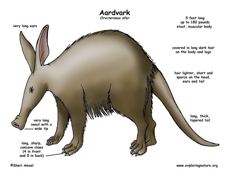 Aardvark Body Diagram