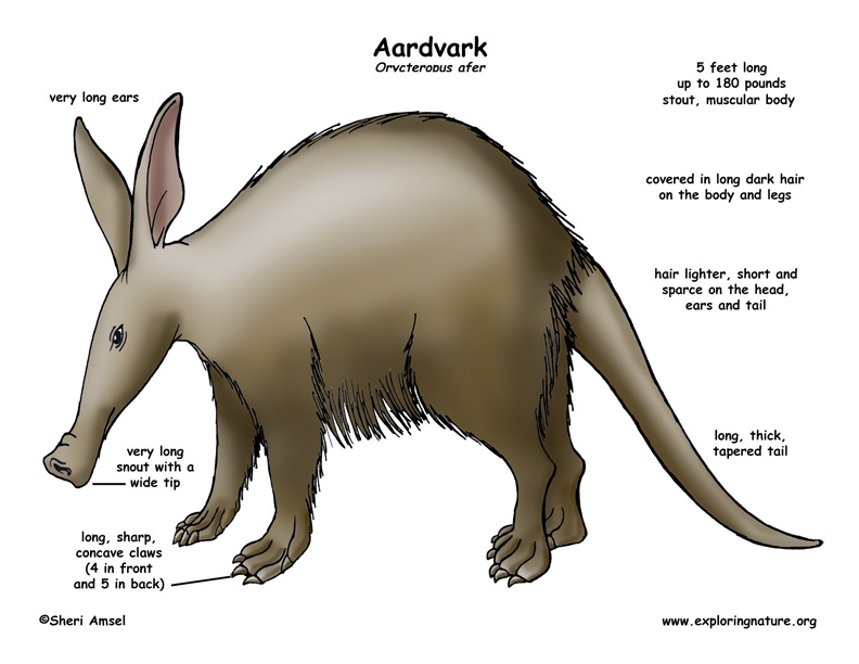 aardvark body diagrams and habitat posters