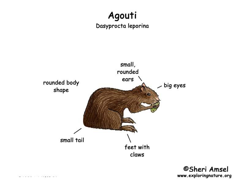 outer body diagram female agouti female pregnant body diagram