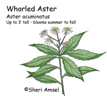 Aster Whorled Or Sharp Leaved Aster