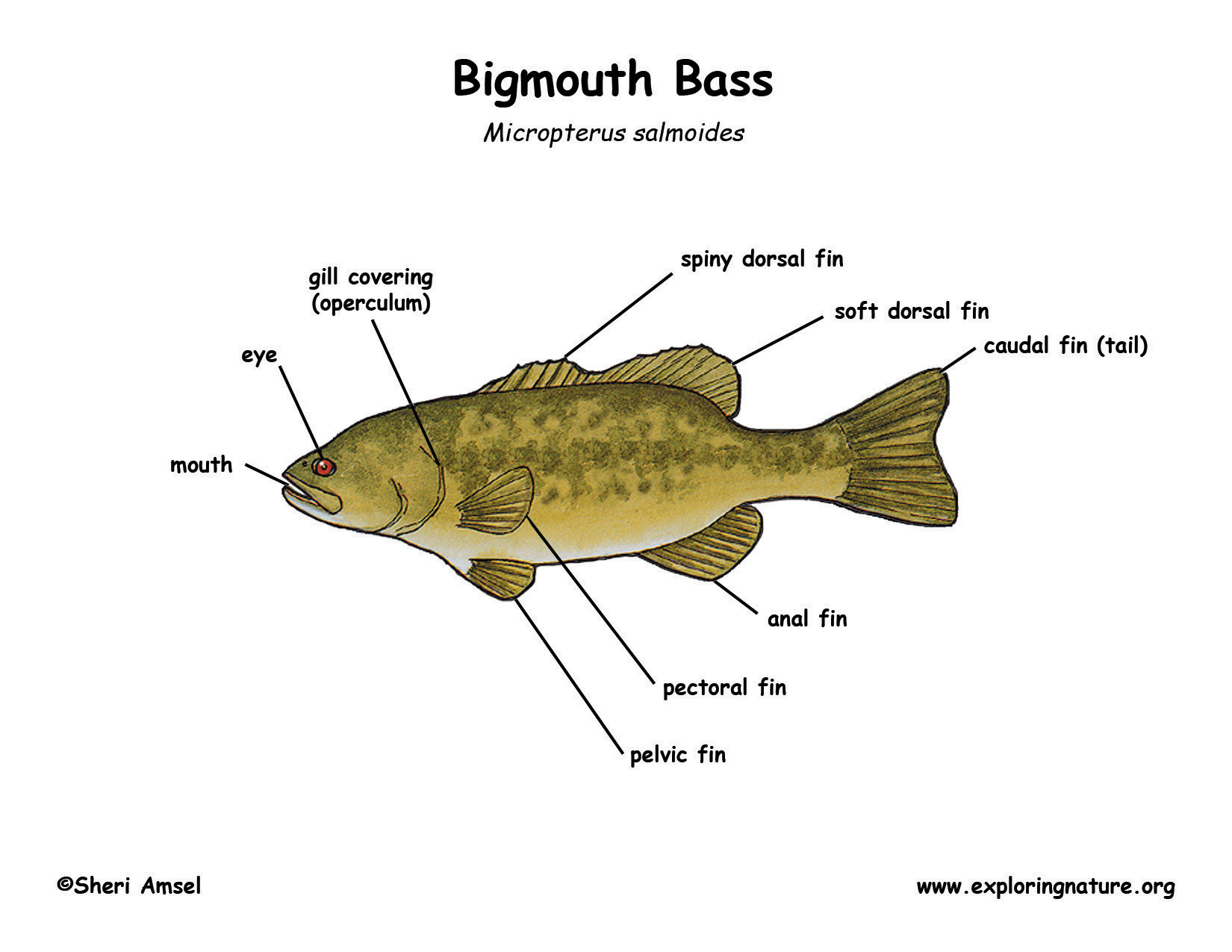 Bass largemouth download hi res color diagram pooptronica