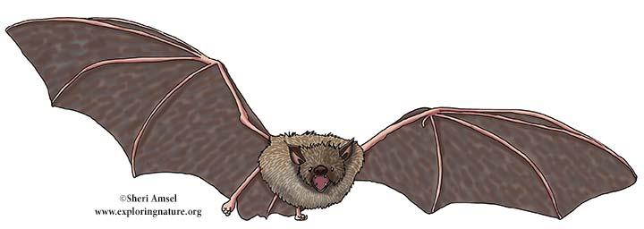 Yuma myotis, Yuma Bat