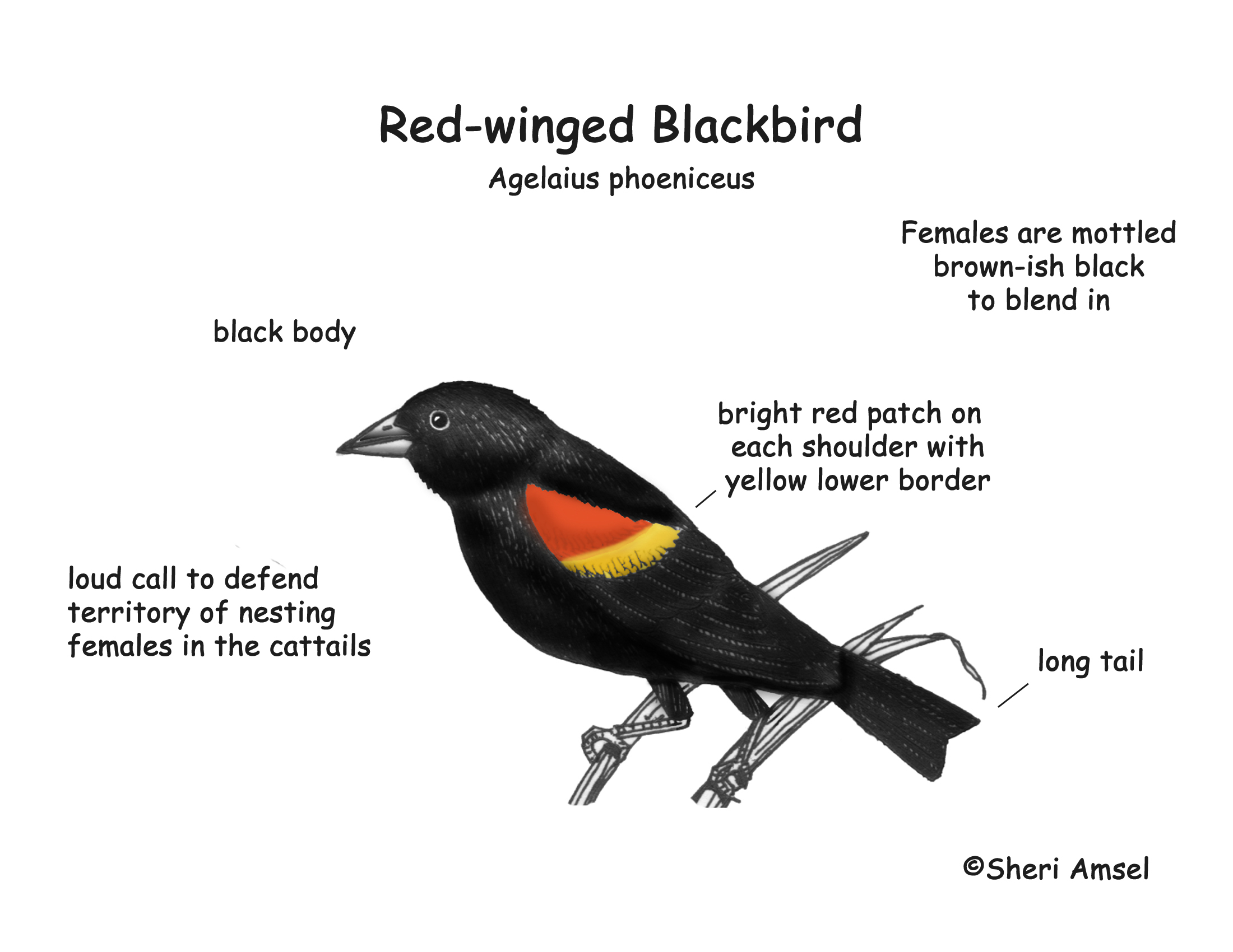 blackbird red winged diagram of a water spring