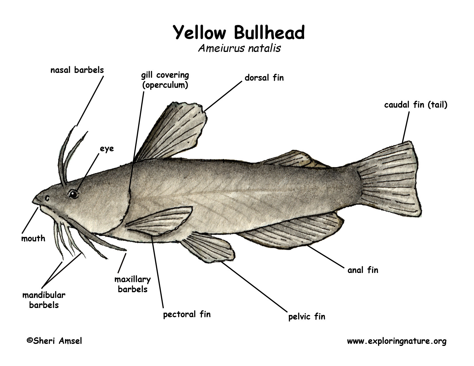 cat fish diagram label perch fish diagram #3