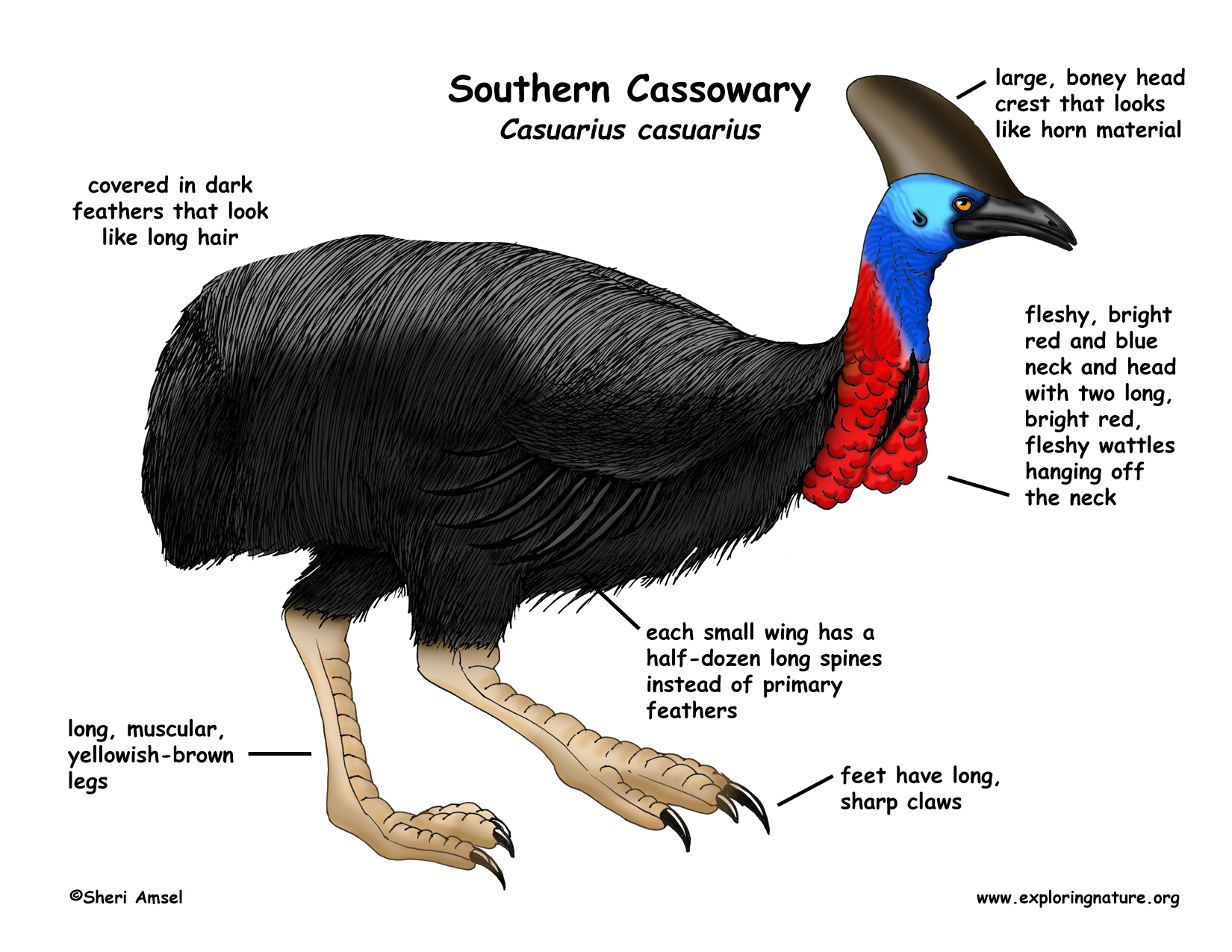 the cassowary bird Cassowary has been named the world's most dangerous bird in the guinness book of records.