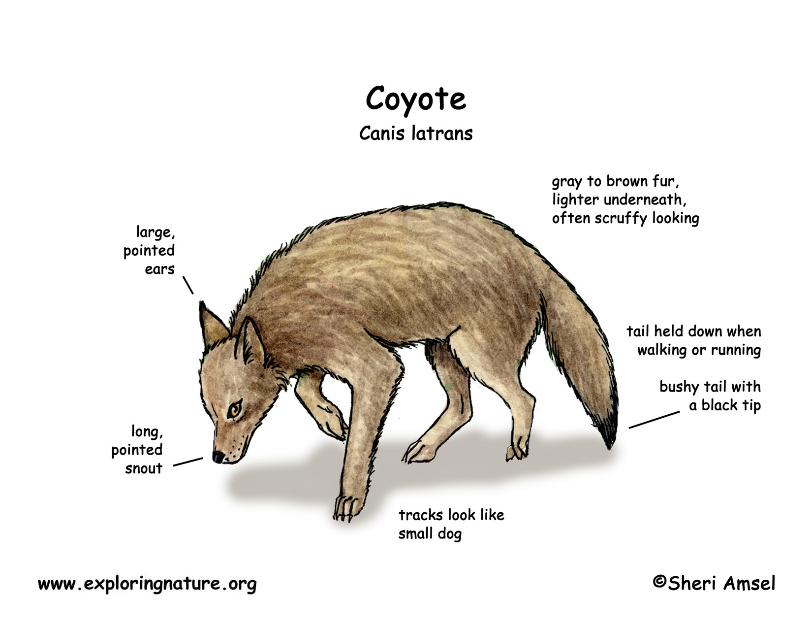 gray wolf and life cycle coyote Description: red wolves are smaller than gray wolves but larger than coyotes   life cycle: red wolves live for six to seven years in the wild  by habitat  loss illegal killings and other human persecution and hybridization with coyotes.