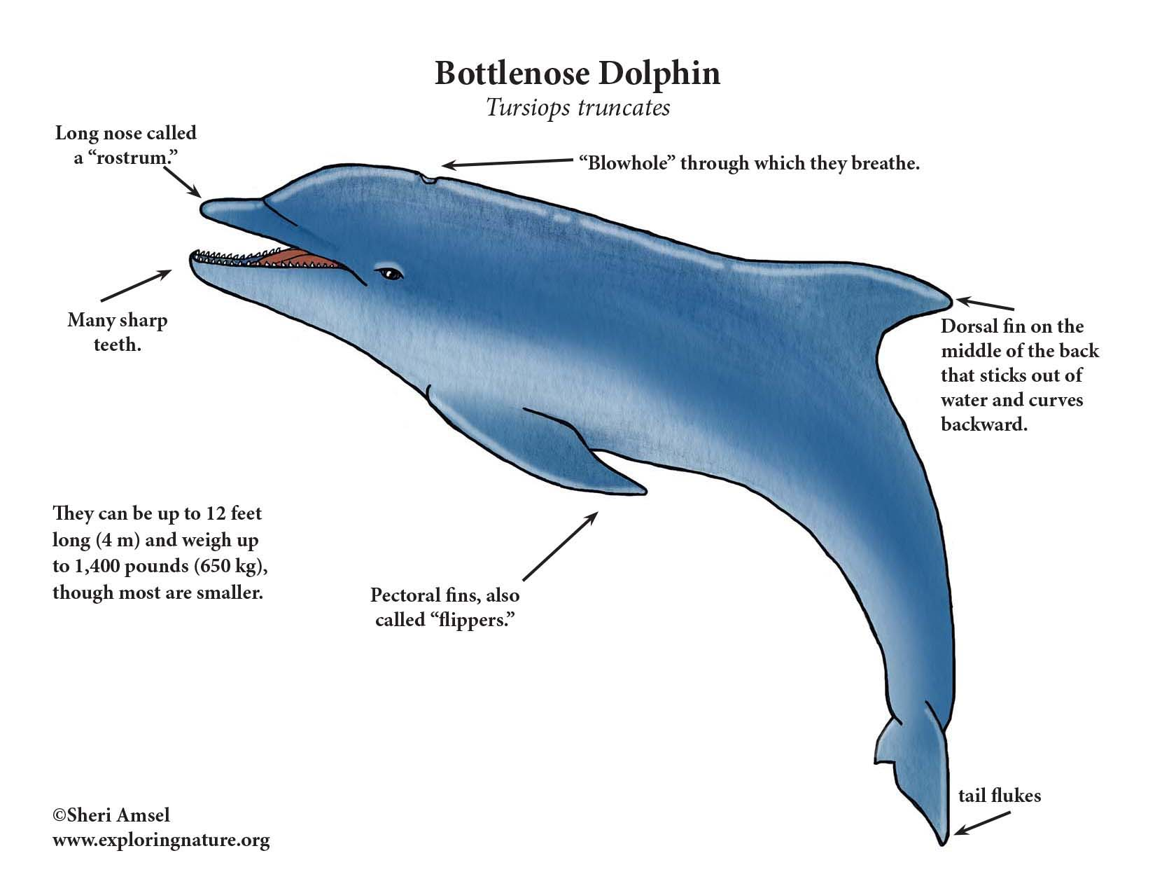 wiring diagram national dolphin dolphin (bottlenose) bottlenose dolphin diagram #11