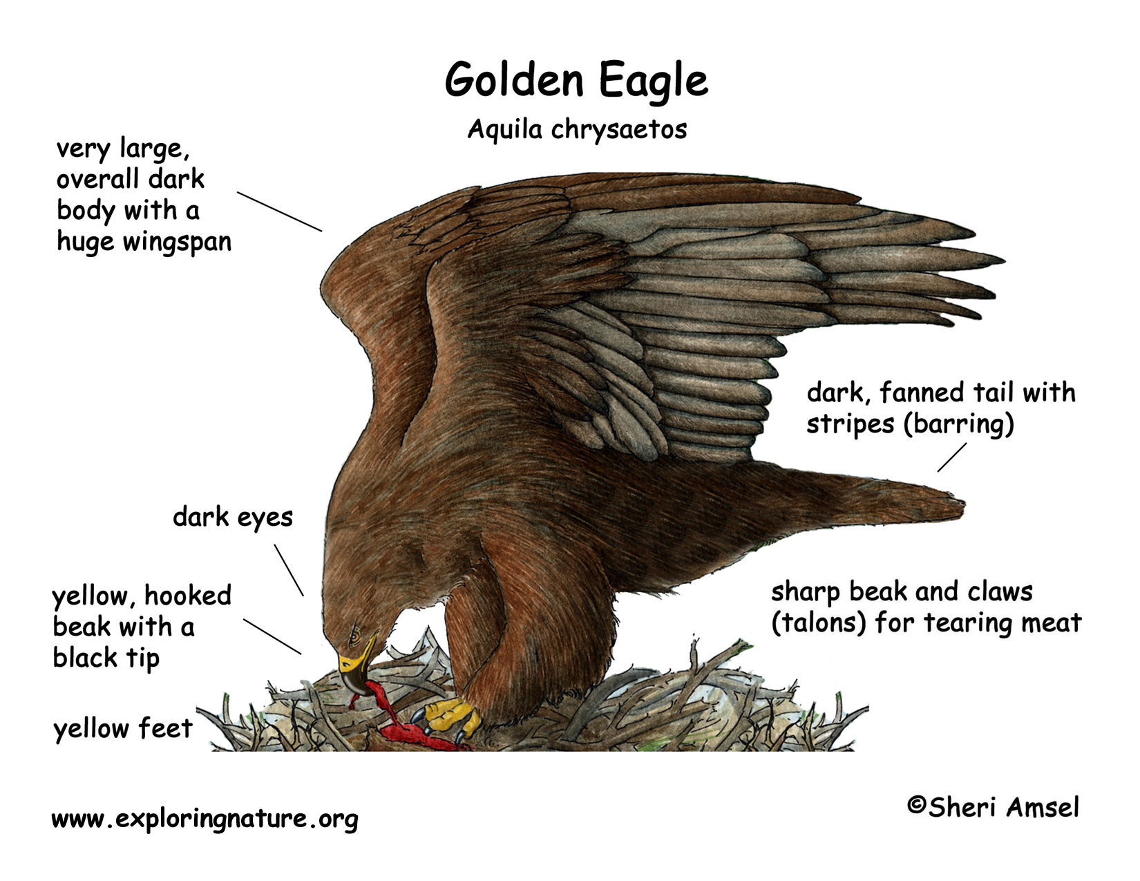 Eagle  Golden