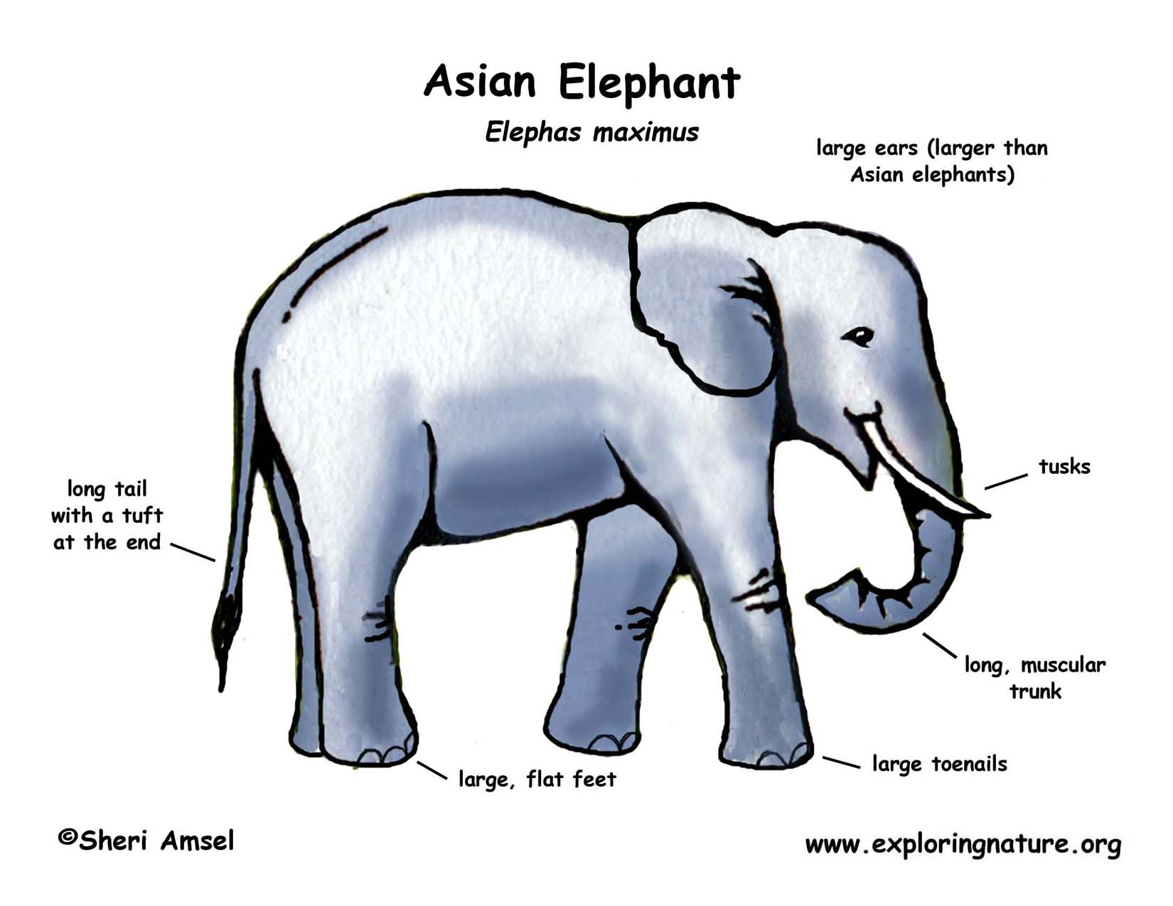 Elephant asian or indian elephant download hi res color diagram elephant ccuart Image collections