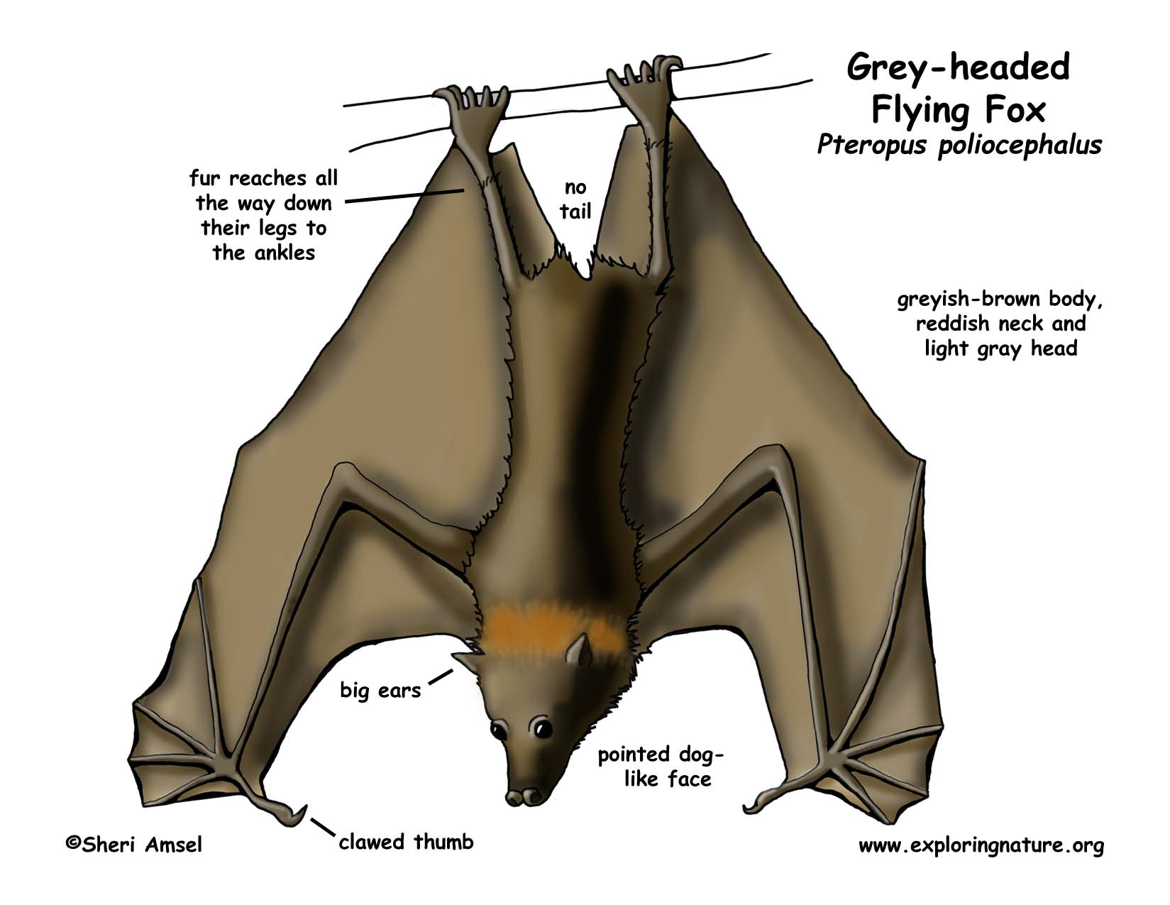 Flying fox grey headed megabat download hi res color diagram pooptronica Images
